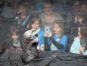 Monterey Bay Aquarium visitors enjoy the sea otter exhibit during the 1:30 feeding at the Monterey Bay Aquarium on Friday. (Vern Fisher - Monterey Herald)